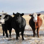 cattle beef