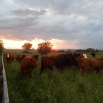 happy cows, sunset, grass